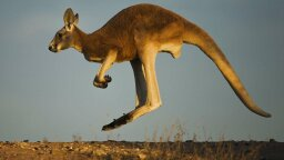 Kangaroo Anthropomorphism Crushed by Mother Nature