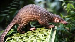 The World's Most Trafficked Mammal Just Got New International Protections
