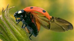 How the Ladybug Folds Its Giant Wings