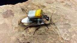 Cyborg Cockroaches: Coming Soon to a Disaster Zone Near You