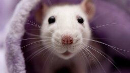 Rats Are Ticklish Just Like Humans, New Study Shows