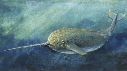 Narwhal Echolocation Abilities Exceed Those of Any Other Animal, Study Finds