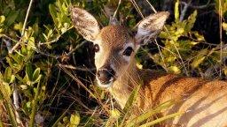 Flesh-eating Screwworm Maggots Are Devouring Rare Tiny Florida Deer Alive