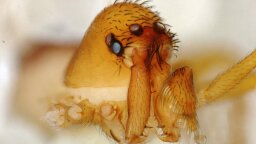 Newly Discovered Trap-Jaw Spider Captures Prey With Astonishing Speed
