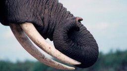 Elephants Can Learn to Sniff Out Landmines