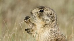 Prairie Dogs Savagely Kill Squirrels to Eliminate the Competition