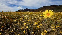 Death Valley Fills With Wildflowers Every 10 Years – It's Happening Right Now