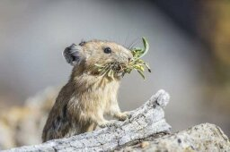 Things Are Looking Up for the Adorable American Pika