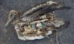 An Ocean of Plastic...In Birds' Guts