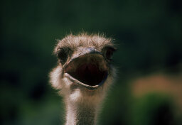 Do ostriches really bury their heads in the sand?