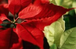 17 Plants that Will Kill Your Cat and Why Poinsettias Won't