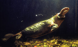 Could a platypus poison me?