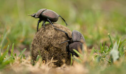 Stuff to Blow Your Mind Podcast: Dung Beetle Mania!
