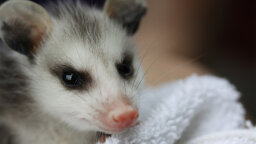Opossums: So Darn Ugly They're Adorable