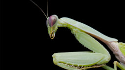 Who Knew a Praying Mantis Could Learn?