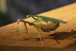 Do female praying mantises decapitate their mates?
