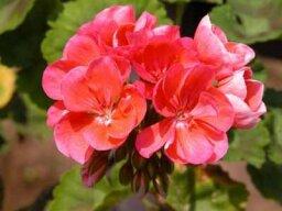 Regal, Martha Washington, Lady Washington Geranium, Pelargonium