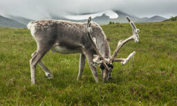 How do reindeer find enough food in the tundra?