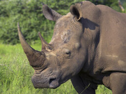 Why do rhinos charge anything unfamiliar?