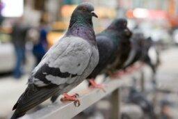 Rock Dove (Rock Pigeon)