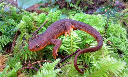 How can salamanders regrow body parts?