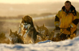 How Sled Dogs Work
