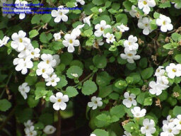 Snowstorm Bacopa
