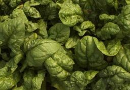 How can intestinal bacteria like E. coli infect a vegetable like spinach?