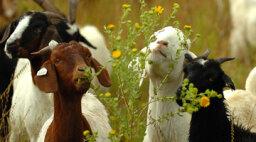 Goatscaping: Google Uses Rent-a-Goats