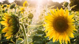 Polymer SunBOTs Imitate Sunflowers to Create Maximum Solar Energy