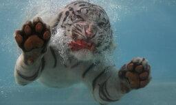 Why do tigers swim?