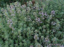 Thyme: A Portrait of a Perennial Herb