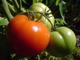 Tomatoes: Natural Weight-Loss Food