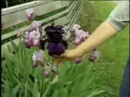 Should you plant lavender in your garden?