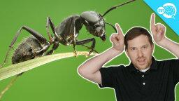 Brainstuff: How Do Ants Communicate?
