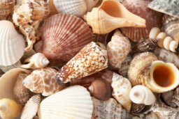 Seashell Walls