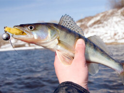 Top 3 Walleye Fishing Techniques