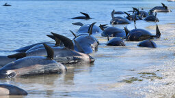 Why Are Whale Strandings Still a Mystery?