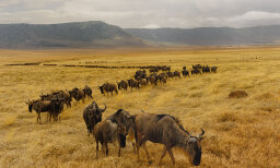 Why do wildebeests spend their whole lives migrating in a circle?