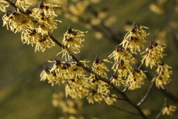 How does witch hazel work in skin cleansers?