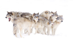 What is a wolf pack mentality?