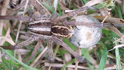 Don't Be Afraid of the Big, Bad Wolf Spider