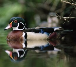 How do ducks float?