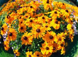 Yellow Coneflower, Perennial Black-Eyed Susan