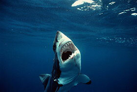 That's quite a set of teeth. See more shark pictures.