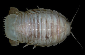 giant sea isopod