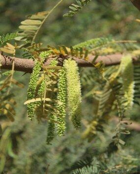 prosopis juliflora plant