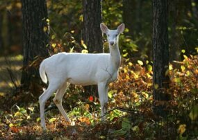 Despite the dangers of the wild, many animals with albinism, like this whitetail deer, find themselves coddled by humans.