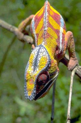 Chamaeleo pardalis, a chameleon species found in the forests of Madagascar. Chameleons can produce a wide range of colors and patterns on their skin, but they do this primarily to express mood, not to blend in with different environments.