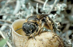 Some bee species use snail shells to make their nests.
